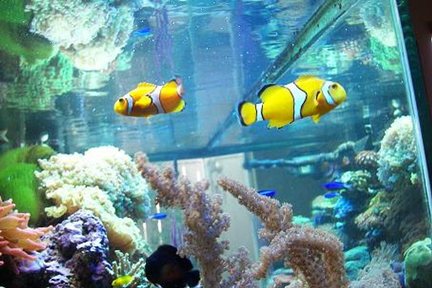 Rated #38: Saltwater Fish - Amphiprion Clarkii - Clarkii Clownfish Stocking In 120 Gallons Tank - HERE'S MY CLOWNS, CORAL BEAUTY,