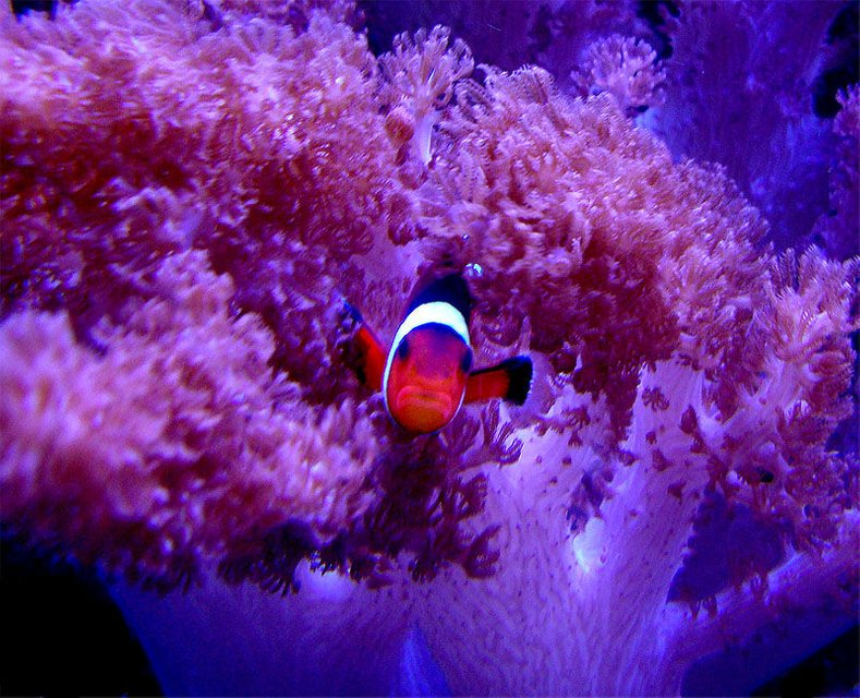 Rated #4: Saltwater Fish - Amphiprion Ocellaris - Ocellaris Clownfish Stocking In 55 Gallons Tank - A.Ocellaris