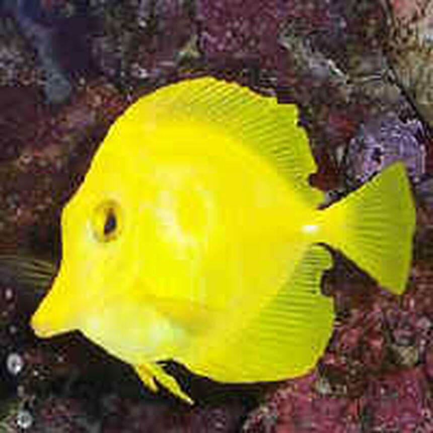 Rated #57: Saltwater Fish - Zebrasoma Flavescens - Yellow Tang - Hawaii Stocking In 29 Gallons Tank - My Yellow tang