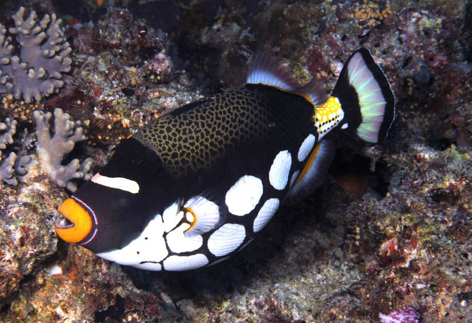 Rated #3: Saltwater Fish - Balistoides Conspicillum - Clown Triggerfish Stocking In 180 Gallons Tank