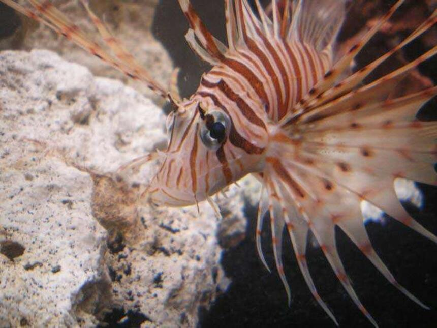 Rated #7: Saltwater Fish - Pterois Volitans - Volitan Lionfish Stocking In 55 Gallons Tank - Mr. Lionfish