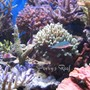 saltwater fish - chromis viridis - blue/green reef chromis stocking in 100 gallons tank - Chromis Viridis between corals