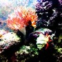 saltwater fish - amphiprion percula - true percula clownfish stocking in 90 gallons tank - clown see's off crab