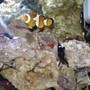 saltwater fish - amphiprion percula - true percula clownfish stocking in 24 gallons tank - Nemo, Domino Damsel