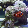 saltwater fish - premnas biaculeatus - maroon clownfish stocking in 40 gallons tank - Maroon Clownfish