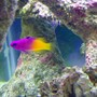 saltwater fish - gramma loreto - royal gramma basslet stocking in 40 gallons tank - Jenny the Royal Gramma