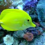 saltwater fish - zebrasoma flavescens - yellow tang - hawaii stocking in 100 gallons tank - .