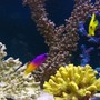 saltwater fish - gramma loreto - royal gramma basslet stocking in 105 gallons tank - Gramma Loretto with a friend