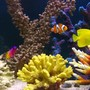 saltwater fish - zebrasoma flavescens - yellow tang - hawaii stocking in 105 gallons tank - Nemo with his friends. But where is Dory ?
