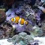 saltwater fish - amphiprion percula - true percula clownfish stocking in 90 gallons tank - Mated pair and Fire Goby.