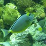saltwater fish - naso lituratus - naso tang stocking in 90 gallons tank - sailfin,naso tang