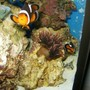 saltwater fish - amphiprion ocellaris - ocellaris clownfish stocking in 72 gallons tank - Mated pair of clowns and rose anemone
