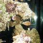 saltwater fish - amphiprion perideraion - pink skunk clownfish stocking in 48 gallons tank - skunks