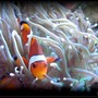saltwater fish - amphiprion ocellaris - ocellaris clownfish stocking in 125 gallons tank - Ocellaris