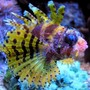 saltwater fish - dendrochirus brachypterus - fuzzy dwarf lionfish stocking in 180 gallons tank - pic of my very colorful fuzzy dwarf lion fish