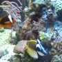 saltwater fish - amphiprion frenatus - tomato clownfish stocking in 95 gallons tank - Foxface Lo & Clownfish
