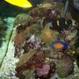 saltwater fish - centropyge bispinosa - coral beauty angelfish stocking in 90 gallons tank - just pics