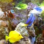 saltwater fish - paracanthurus hepatus - blue tang stocking in 55 gallons tank - update