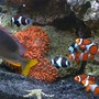 saltwater fish - siganus magnifica - magnificent foxface stocking in 144 gallons tank - Clowns, Anemone and Foxface