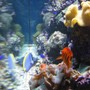 saltwater fish - centropyge loriculus - flame angelfish stocking in 120 gallons tank - Right Side of Tank - Side Reef display
