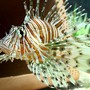 saltwater fish - pterois volitans - volitan lionfish stocking in 220 gallons tank - Peacock/Volitan Lion Fish