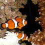 saltwater fish - amphiprion percula - true percula clownfish stocking in 50 gallons tank - Percula clowns