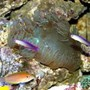 saltwater fish - nemateleotris decora - firefish, purple stocking in 210 gallons tank - Elegance Coral with Purple Firefish Pair