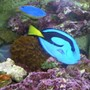 "saltwater fish - paracanthurus hepatus - blue tang stocking in 125 gallons tank - ""My Piece of the Ocean"""