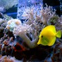 saltwater fish - zebrasoma flavescens - yellow tang - hawaii stocking in 125 gallons tank - Yellow tang