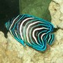 saltwater fish - pomacanthus semicirculatus - koran angelfish stocking in 55 gallons tank - Koran Angelfish starting to change New2hobby