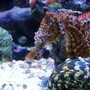 saltwater fish - hippocampus erectus - black seahorse stocking in 40 gallons tank - Hippocampus Erectus