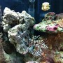saltwater fish - dendrochirus zebra - dwarf/zebra lionfish stocking in 35 gallons tank - Dotty the Boxfish and Deuce the Lionfish!