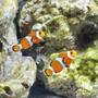 saltwater fish - amphiprion percula - true percula clownfish stocking in 125 gallons tank - percula clowns