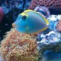 saltwater fish - naso lituratus - naso tang stocking in 65 gallons tank - GAGA 2YR OLD BLONDE NASO TANG
