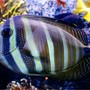 saltwater fish - zebrasoma veliferum - sailfin tang stocking in 180 gallons tank - Zambrasoma veliferum