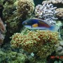 saltwater fish - cirrhilabrus solorensis - fairy wrasse stocking in 90 gallons tank - Blue Fairy Wrasse swimming past a frog spawn coral