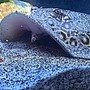 saltwater fish stocking in 100 gallons tank - Medusa; Marble motoro stingray 1 year old