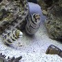 saltwater fish - echidna nebulosa - snowflake eel stocking in 125 gallons tank - there buddies. always chillin together..