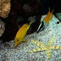 saltwater fish - zebrasoma flavescens - yellow tang - hawaii stocking in 75 gallons tank - Beautiful Star