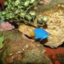 saltwater fish - chrysiptera parasema - yellowtail damselfish stocking in 55 gallons tank - Yellow Tail Blue Damsel