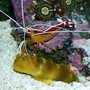 saltwater fish - cryptocentrus cinctus - yellow watchman goby stocking in 160 gallons tank - A gobie have a shampoo by a lysmata !