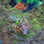 saltwater fish - dendrochirus brachypterus - fuzzy dwarf lionfish stocking in 38 gallons tank - fuzzy dwarf lionfish on decoration