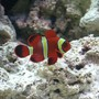 saltwater fish - premnas biaculeatus - yellowstripe maroon clownfish stocking in 55 gallons tank - gold stripe maroon clown