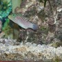 saltwater fish - canthigaster jactator - spotted puffer stocking in 55 gallons tank - The spotted puffer