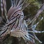 saltwater fish - pterois volitans - volitan lionfish stocking in 210 gallons tank - Volitan Lionfish