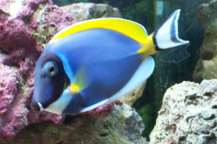 Mickeyw43 39 s saltwater fish photo id 2578 full version for Blue tang fish facts