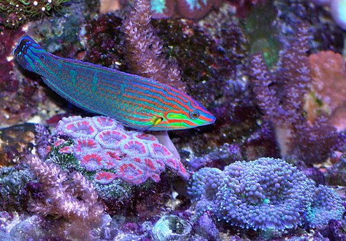saltwater fish - halichoeres claudia - christmas wrasse stocking in 180 gallons tank - Christmas wrasse and corals