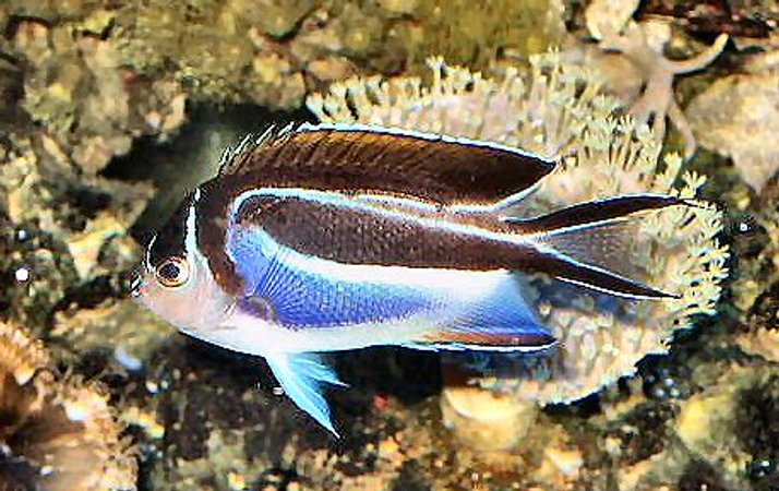 saltwater fish - genicanthus bellus - bellus angelfish - 120 reef tank 