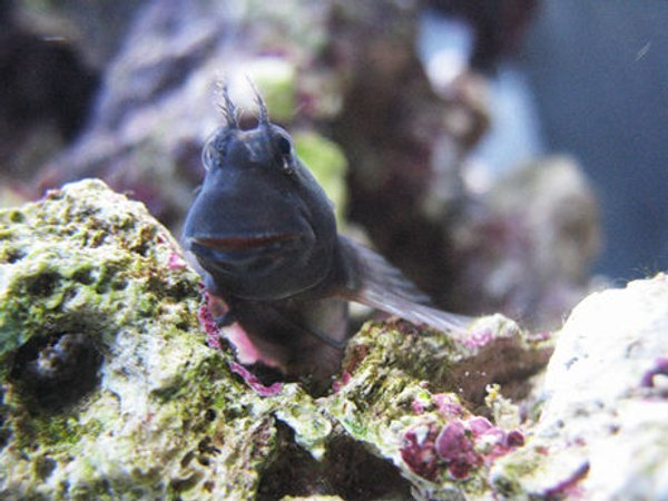 saltwater fish - atrosalarias fuscus - black sailfin blenny stocking in 70 gallons tank - another Blenny pic.  He loves to pose!!!