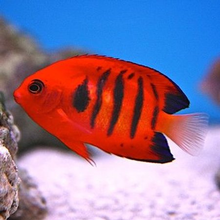 saltwater fish - centropyge loriculus - flame angelfish stocking in 90 gallons tank - my flame angel
